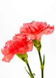 Red chrysanthemum flowers isolated on white Stock Photos