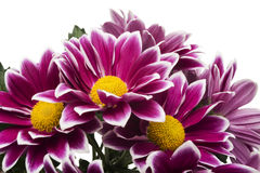 Red chrysanthemum flowers isolated on white Stock Image