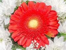 Red Chrysanthemum flowers Royalty Free Stock Photos