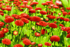 Red chrysanthemum flowers. On a sunny day Stock Photo