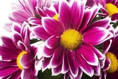Red chrysanthemum flowers  on white Stock Image