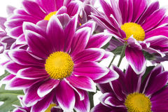 Red chrysanthemum flowers  on white Royalty Free Stock Images