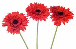 Red Chrysanthemum flowers, white background, also called as mums or chrysanths, family Asteraceae.  Stock Images