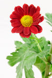 Red Chrysanthemum with foliage Royalty Free Stock Photography
