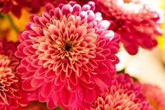 Red chrysanthemum in full sun. Shine Royalty Free Stock Images