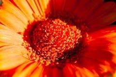 Red chrysanthemum in full sunlight Royalty Free Stock Image