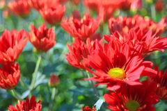 Red  chrysanthemum in gardenn. Red with yellow pollen chrysanthemum outdoor in garden,bokeh and blurry background Stock Photography
