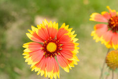 Red Chrysanthemum INDICUM flower. Wild in hillside meadows, fields, roadsides and other wild areas,Aromatic and bitter Stock Photo