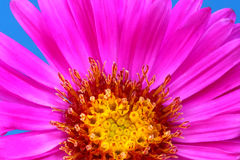 Red chrysanthemum Stock Image