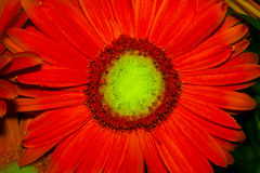 Red chrysanthemum macro Royalty Free Stock Photo