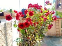Red Chrysanthemum stock image