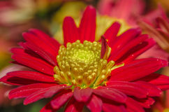Red Chrysanthemum. In an outdoor garden royalty free stock photo