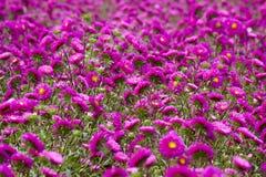 Red chrysanthemum. Red or purple chrysanthemum flowers in autumn season Stock Images