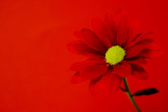 Red chrysanthemum on a red background Royalty Free Stock Photography