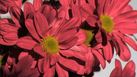 Red chrysanthemum in super slow motion being wet stock video footage
