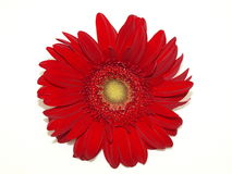 Red Chrysanthemum on White. A red chrysanthemum flower isolated on a white background Stock Photos