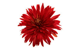 Red chrysanthemum. On a white background Stock Image