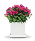 Red chrysanthemum in white pot Stock Photography