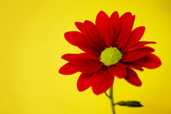 Red chrysanthemum on a yellow background Royalty Free Stock Images