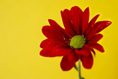 Red chrysanthemum on a yellow background Stock Image