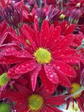 Red Chrysanthemum. With yellow center Royalty Free Stock Photography