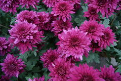 Red chrysanthemums Royalty Free Stock Photo