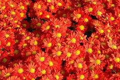 Red chrysanthemums Stock Photography