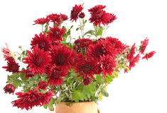 Red chrysanthemums. Bouquet red chrysanthemums against the white background stock photo