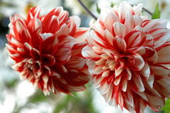 Red Chrysanthemums. White-Red Chrysanthemums close up Stock Images
