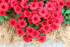 Red  Chrysanthemums Stock Photo