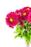 Red chrysanthemums bouquet. Isolated on a white background Royalty Free Stock Images