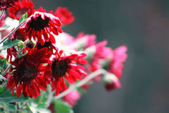 Red Chrysanthemums. Close up of red chrysanthemums Royalty Free Stock Photo