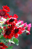 Red Chrysanthemums. Close up of red chrysanthemums Stock Image