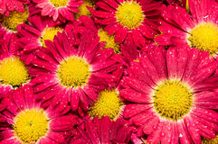 Red chrysanthemums closeup. Red chrysanthemums flowers after the rain Royalty Free Stock Photography