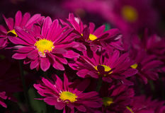 Red chrysanthemums daisy flower Stock Images