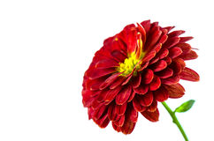 Red Chrysanthemums flower background, petals chrysanthemums Royalty Free Stock Photography