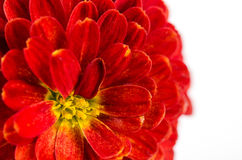 Red Chrysanthemums flower background, petals chrysanthemums Stock Photography