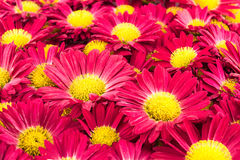 Red chrysanthemums flowers. Close up Royalty Free Stock Photos
