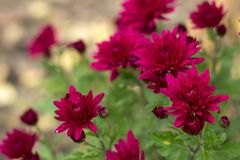 Red chrysanthemums growing in the garden, bright autumn flowers stock photo
