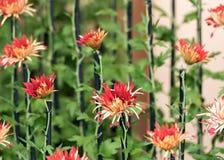 Red chrysanthemums, Tokyo, Japan. Close-up. Red chrysanthemums, Tokyo, Japan. Close-up Stock Photos