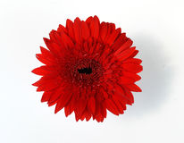 Red chrysanthemums in white vase Royalty Free Stock Images