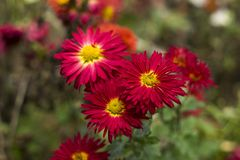 Red chrysanthemums with yellow middle of the flower in the garden, bright autumn flowers. Like chamomile royalty free stock photos