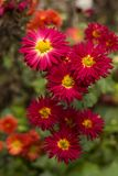Red chrysanthemums with yellow middle of the flower in the gardeRed chrysanthemums with yellow middle of the flower in the garden,. Red chrysanthemums with royalty free stock images