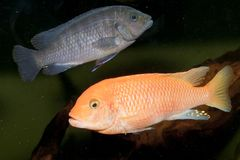 Red Cichlid in Aquarium Stock Photo