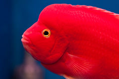 Red cichlid fish Royalty Free Stock Image