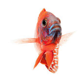 Red cichlid fish, ruby red peacock fish Stock Photo