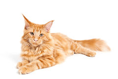 Red classic tabby Maine Coon cat Stock Photography