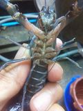 Red claw craw fish Stock Photo