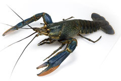 Red claw crayfish Stock Images