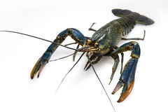 Red claw crayfish Royalty Free Stock Photo